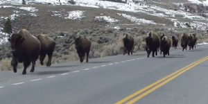 Bisons wat op die vlug slaan as gevolg van aardskuddings rondom die Yellowstone vulkaan